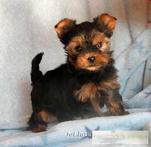 York yorkshire terrier liczny ma y piesek z potencja em for Ohrensessel york big