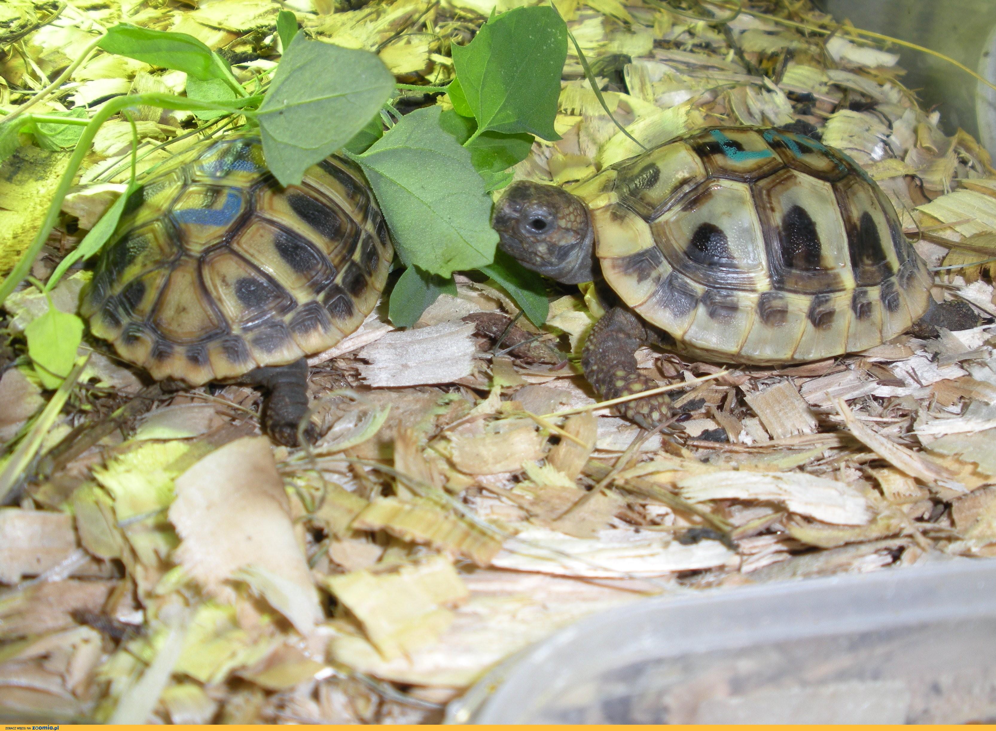 sprzedam żółwia greckiego