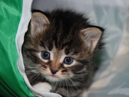 Janka kotka syberyjska