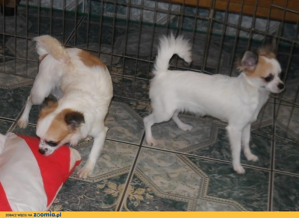 Chihuahua długowłose z rodowodem FCI. SUPER OKAZJA. Suczki.
