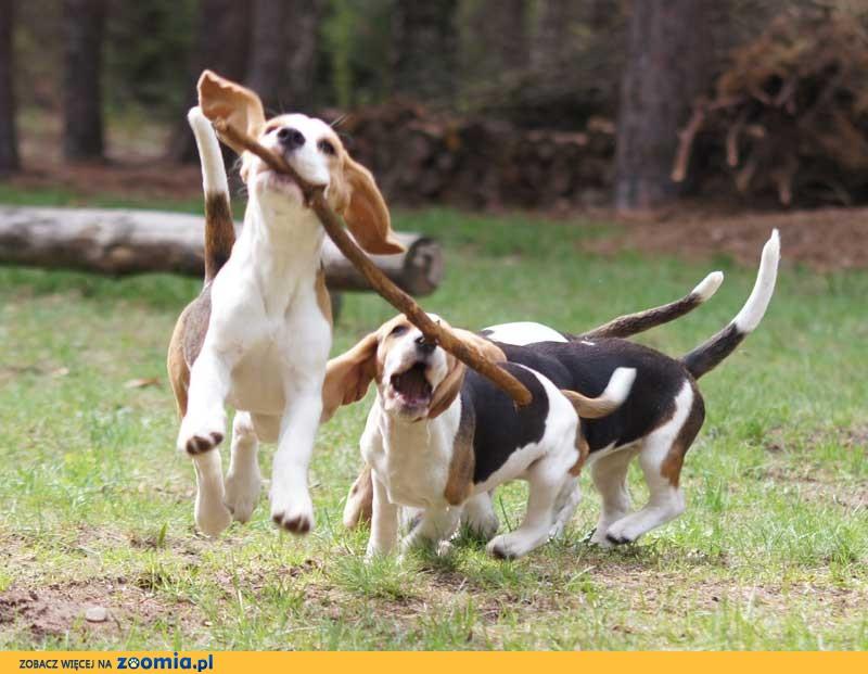 Beagle szczeniak piesek tricolor sprzedam, rodowód ZKwP, cena