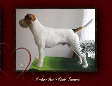Parson Russell Terrier - szczenięta  rodowód FCI