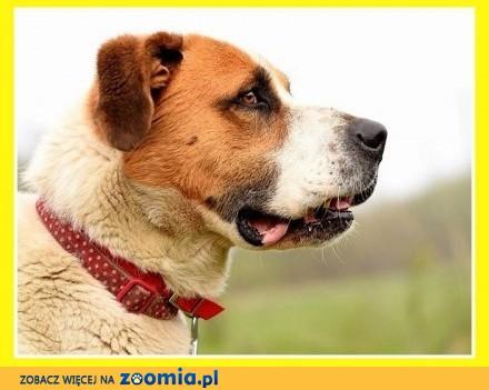Stróżujący bernardyn  duży 50 kg czujny odważny pies HELIOS_Adopcja