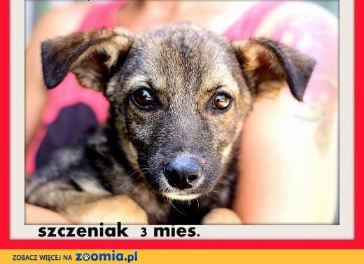 3 miesd. szczeniak,suczka srednia,szczepiona.ADOPCJA,  małopolskie Kraków
