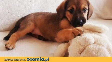 SUZI - mała, cudowna szczeniaczka szuka domu!,  mazowieckie Warszawa