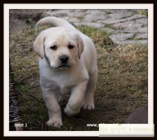 Labrador/labradory szczenięta