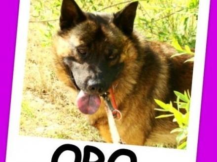 Pies ORO w typie szpica łagodny przyjazny spokojnyAdopcja   dolnośląskie Wrocław