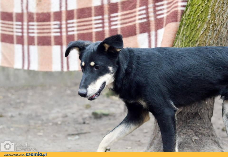 12 miesięczny Pixel, przyjazny, niekonfliktowy psiak szuka domu!
