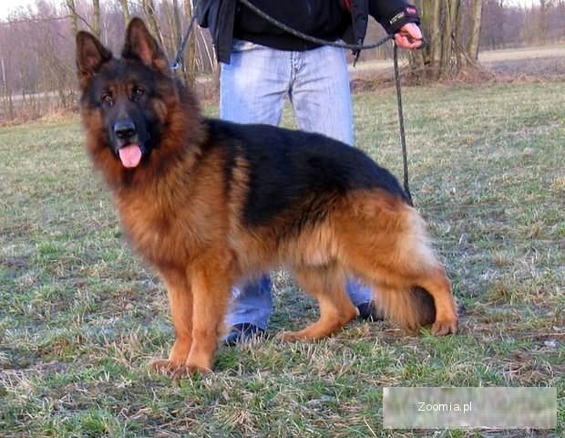 Owczarki Niemieckie długo- i krótkowłose rodowodowe, psy