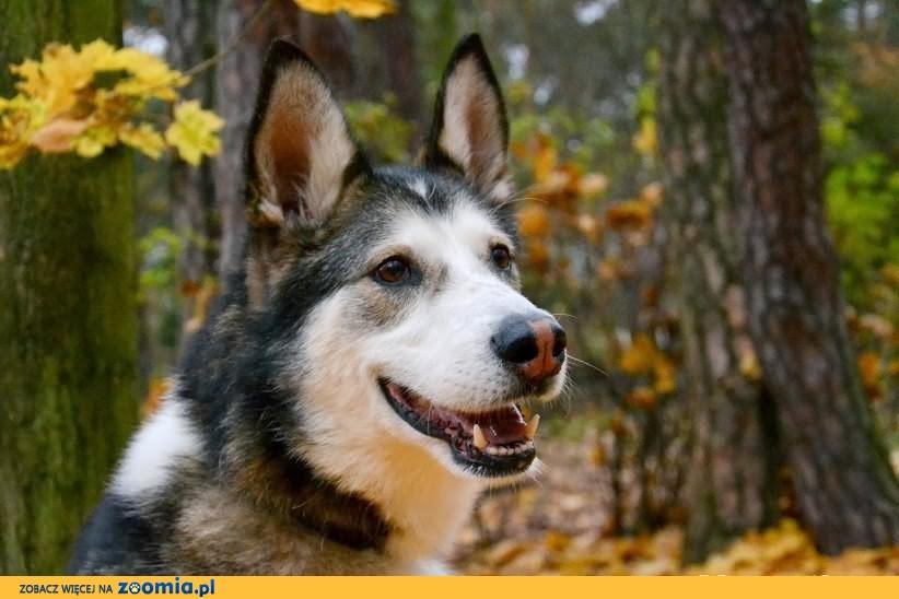 Nese pies w typie alaskan malamute już 2 lata czeka na dom! Adoptuj!