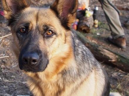 Ciri - suczka owczarka niemieckiego czeka na dom