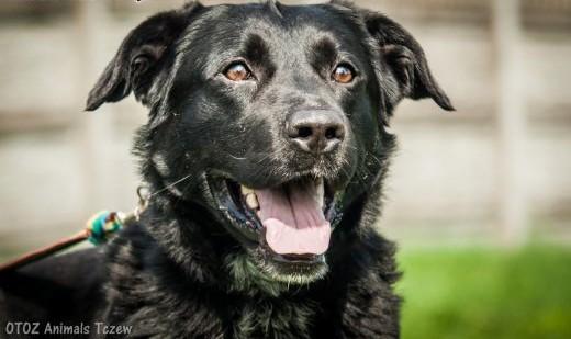 OTOZ Animals - Sherlock - wesoły i energiczny psiak w typie labradora!   pomorskie Tczew