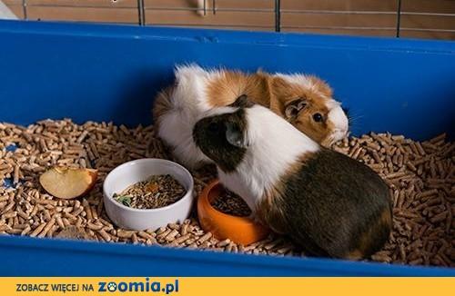 Oddam 2 świnki morskie w dobre ręce,  małopolskie Kraków