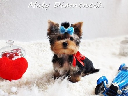 Miniaturowy chłopczyk SZOGUN Yorkshire Terrier York Super Miniaturka!