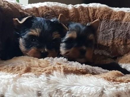 Yorkshire terrier maleńka suczka rodowód FCI