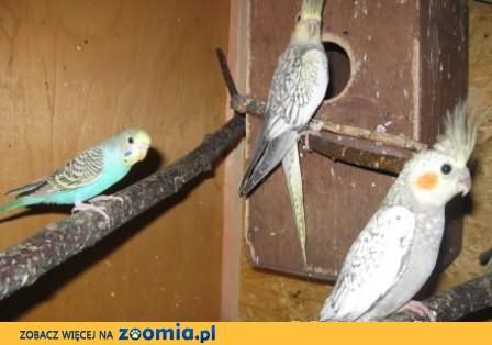 Papugi nimfy para lęgowa
