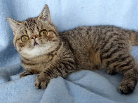 Zorka - śliczna i milutka kotka egzotyczna  FPL