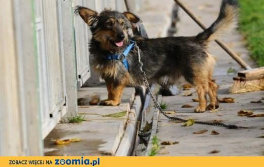 SZCZOTEK - wyjątkowy mały psiak - czy już Twoje serce skradł?,  śląskie Katowice