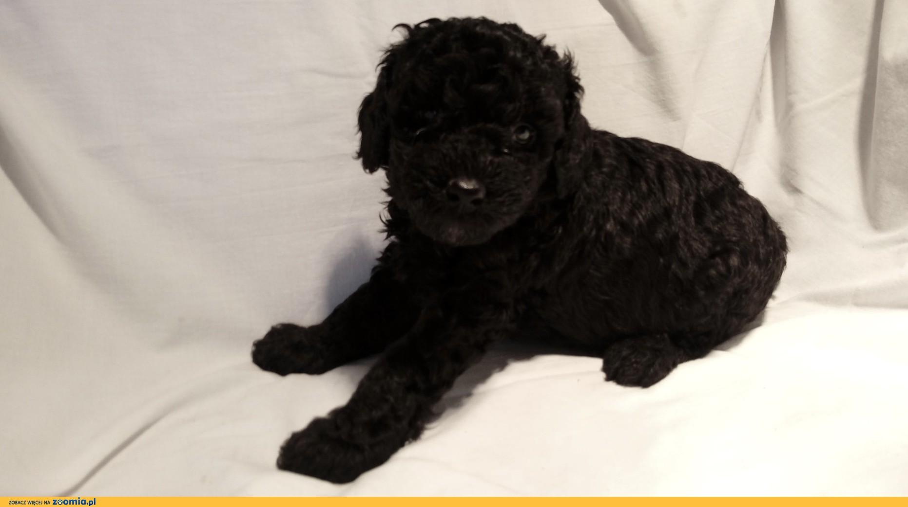Pudel miniaturowy czarny szczeniaki.
