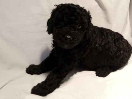 Pudel miniaturowy czarny szczeniaki