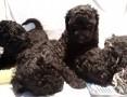 'Pudel miniaturowy czarny szczeniaki.