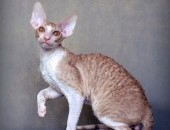 Kocurek Cornish Rex