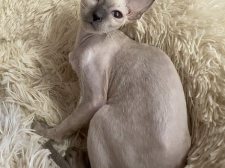Cornish Rex-color point-rodowody FPL-Felis-Polonia  Łódź