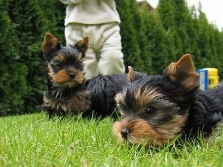 Pies Yorkshire Terrier Ogłoszenia Z Hodowli Psy York Zoomiapl