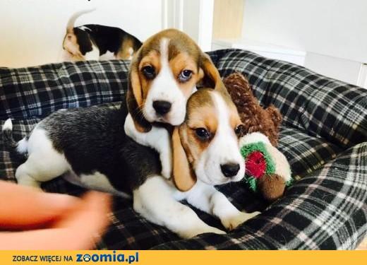 4 szczenięta Beagle szare szczenięta dostępne tylko dla bardzo dobrych domów,  Przygarnę psa cała Polska