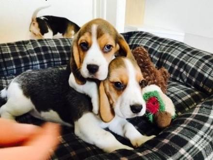 4 szczenięta Beagle szare szczenięta dostępne tylko dla bardzo dobrych domów   Przygarnę psa cała Polska