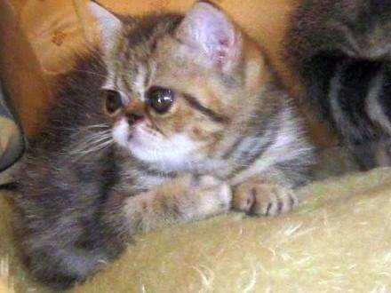 Koteczka egzotyczna - szylkret pręgowany