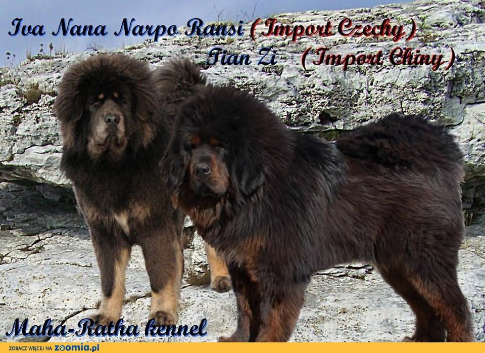 Mastif Tybetański - szczenieta, Hodowla Maha-Ratha