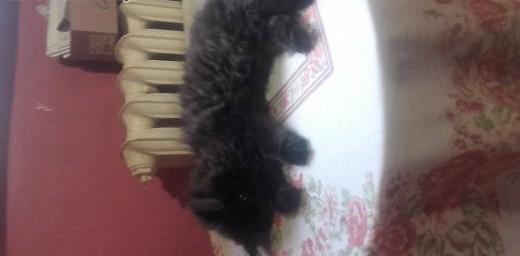 koty perskie   zachodniopomorskie Gryfino