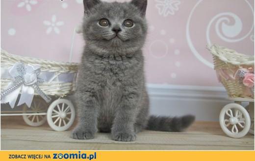 Śliczne niebieskie kocięta brytyjskie rodowód PZF / WCF,  mazowieckie Grójec