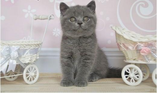 Śliczne niebieskie kocięta brytyjskie rodowód PZF / WCF   mazowieckie Grójec