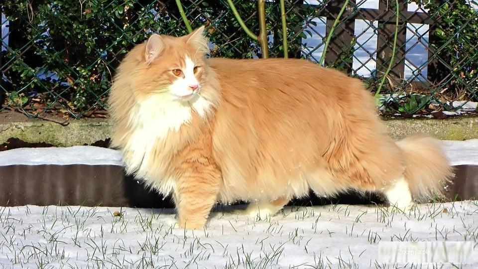 Fantastyczny Koty norweskie leśne kot norweski leśny, kocięta norweskie leśne AR76