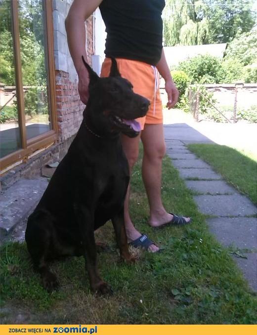 Doberman reproduktor,pies.,  opolskie Głubczyce