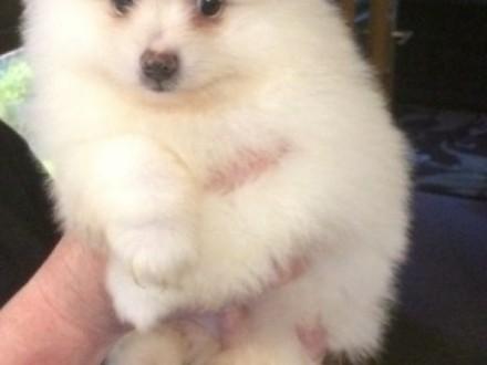 Pomeranian szczenieta   pomorskie Skarszewy