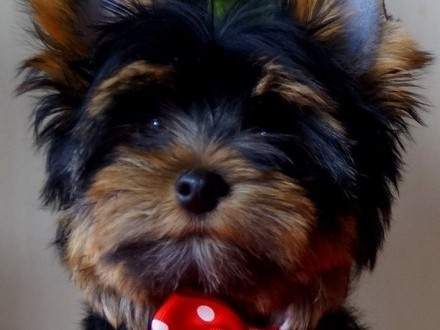 Piesek Yorkshire Terrier ZKwP /FCI/
