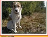 Terier mix,średni 14 kg,b_sympatyczny,łagodny,szczepiony psiak IKUŚ_Adopcja_