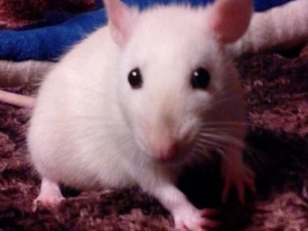 Malutkie szczurki   śląskie Mikołów