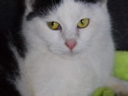 Urocza czarno-biała koteczka