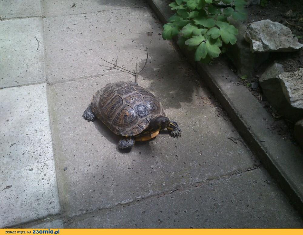 11_06_2016 Znaleziono żółwia-Skawina