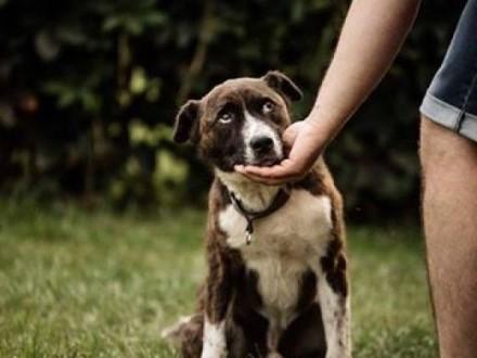 Kajtek pies w typie amstafa   lubelskie Biała Podlaska