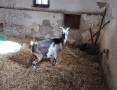 Sprzedam kozę