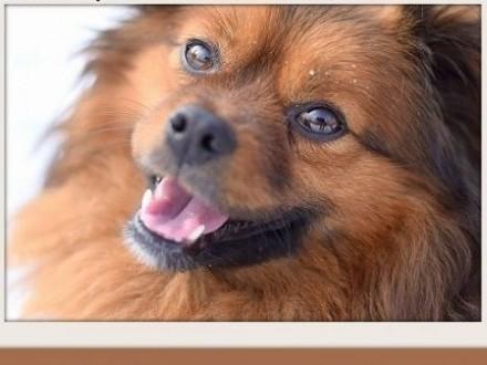 4kg szpic miniaturowy mix mały tulaśny pies TOFIKADOPCJA   małopolskie Kraków