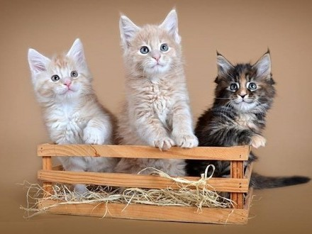 Maine Coon kociaki