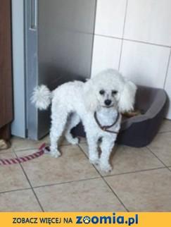 Pudel Toy pies reproduktor - krycie śląsk