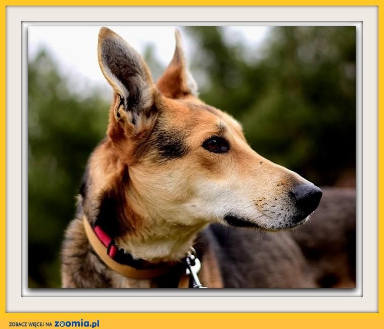 Duży, z domieszką charta,łagodny,spokojny,grzeczny pies NADIR_Adopcja_