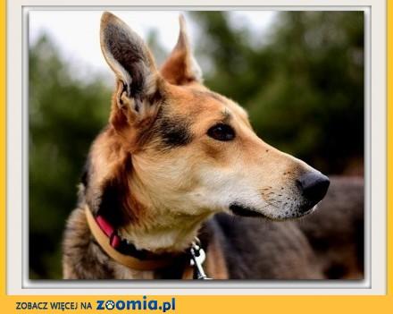 Duży  z domieszką charta łagodny spokojny grzeczny pies NADIR_Adopcja_